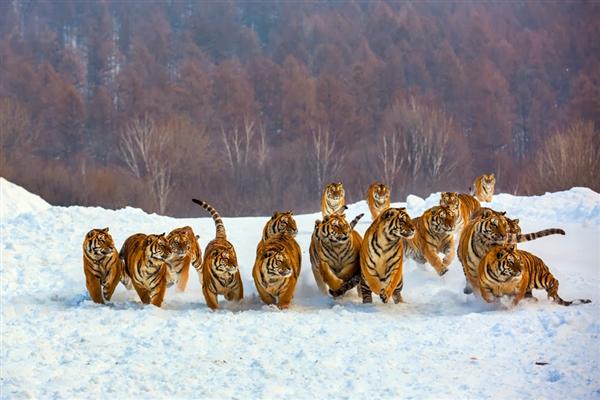 group-of-tigers-feeding-1.jpg