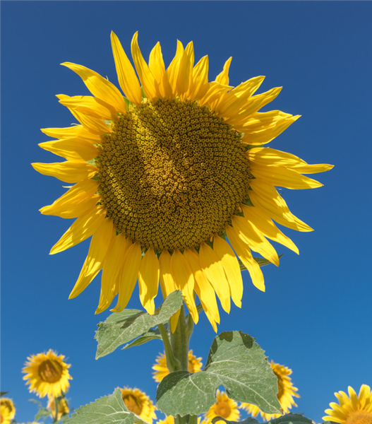 canva-sunflower,-flower,-field,-flowers,-nature,-yellow-MACVr4CP9GE.jpg